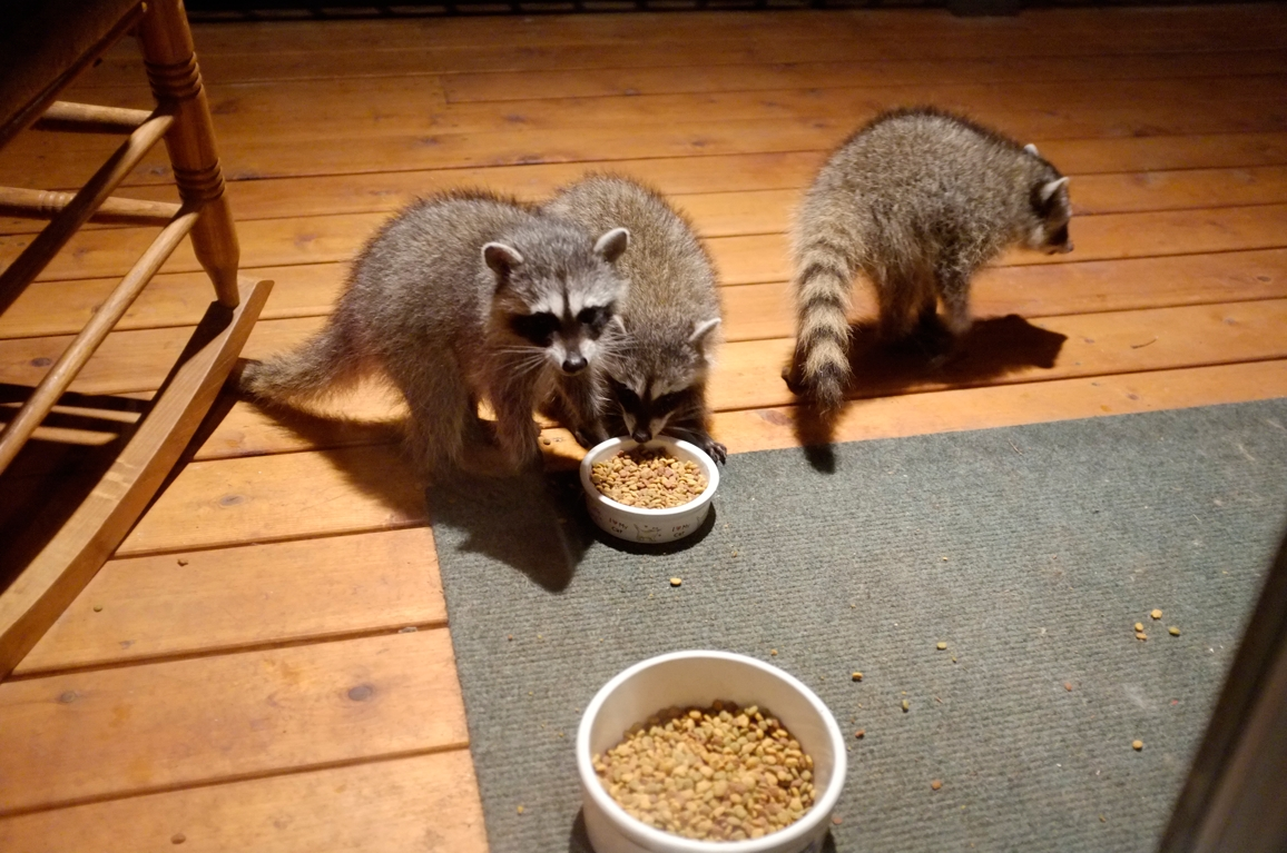 001_-_2013_summer_raccoon_kits_-_conrad_monroe-jpg
