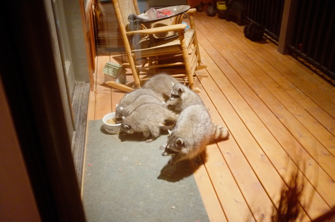 002_-_2013_summer_raccoon_kits_-_conrad_monroe-jpg