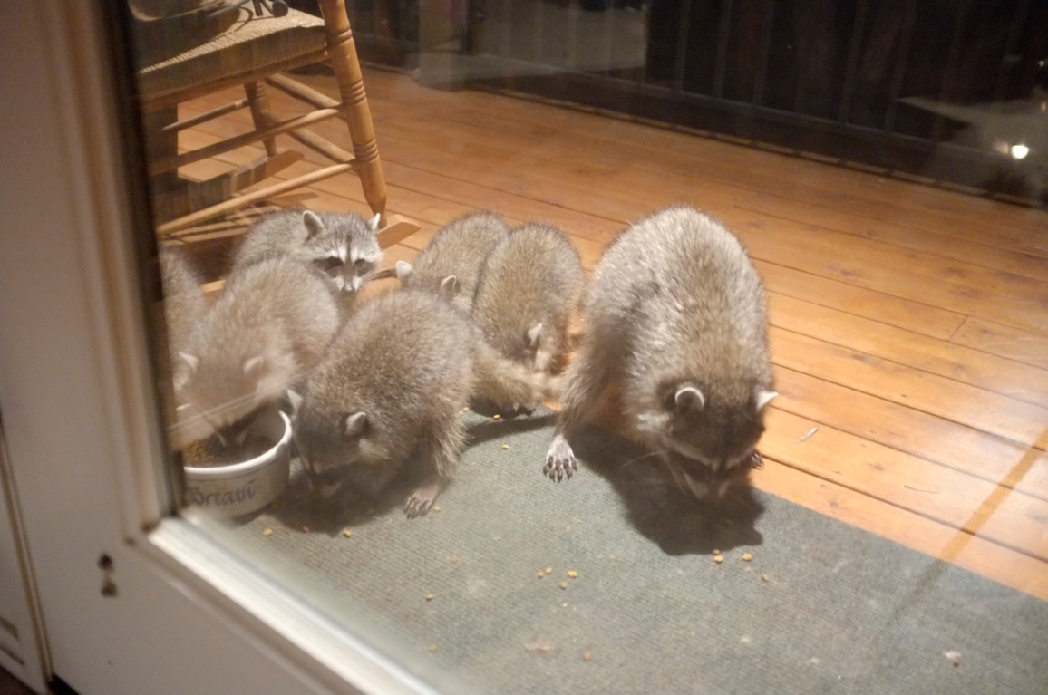 003_-_2013_summer_raccoon_kits_-_conrad_monroe-jpg