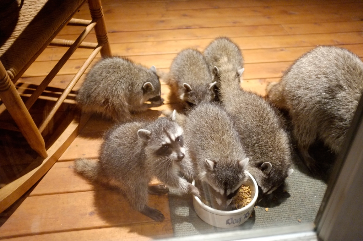 004_-_2013_summer_raccoon_kits_-_conrad_monroe-jpg