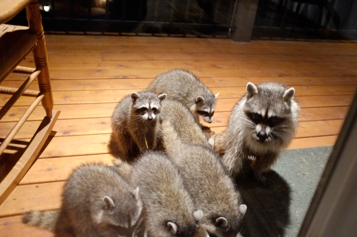 005_-_2013_summer_raccoon_kits_-_conrad_monroe-jpg