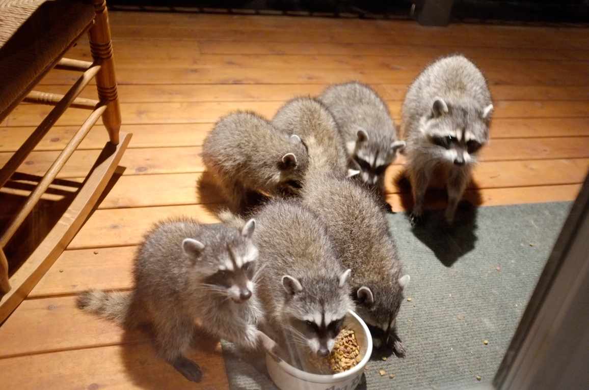 006_-_2013_summer_raccoon_kits_-_conrad_monroe-jpg