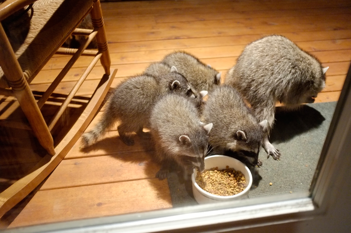 007_-_2013_summer_raccoon_kits_-_conrad_monroe-jpg