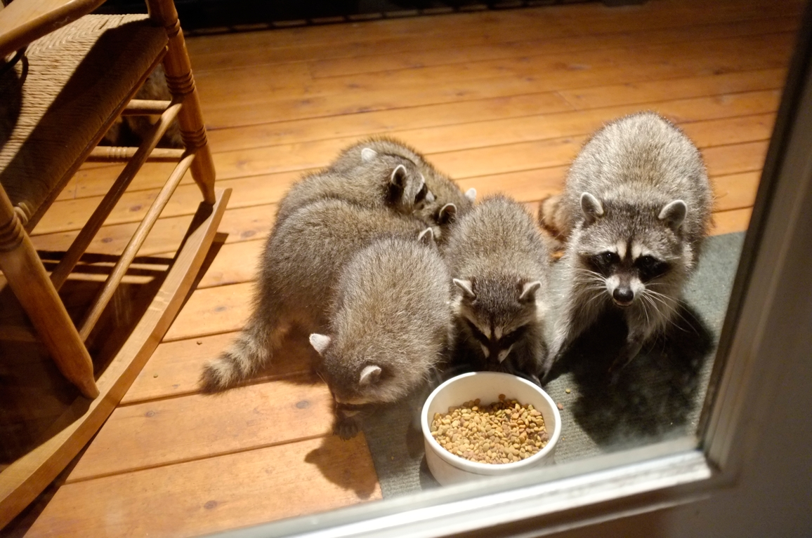 008_-_2013_summer_raccoon_kits_-_conrad_monroe-jpg