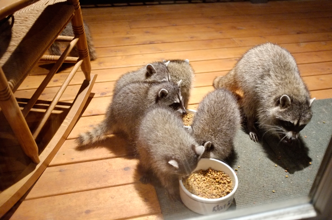 010_-_2013_summer_raccoon_kits_-_conrad_monroe-jpg