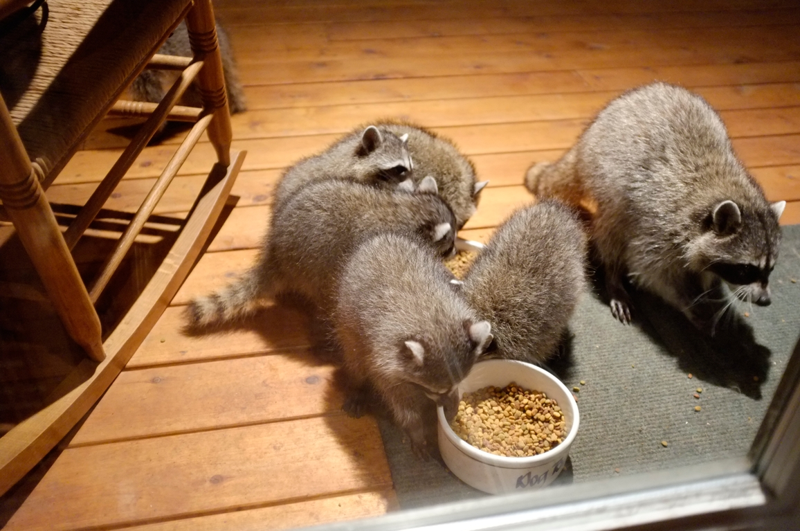 011_-_2013_summer_raccoon_kits_-_conrad_monroe-jpg