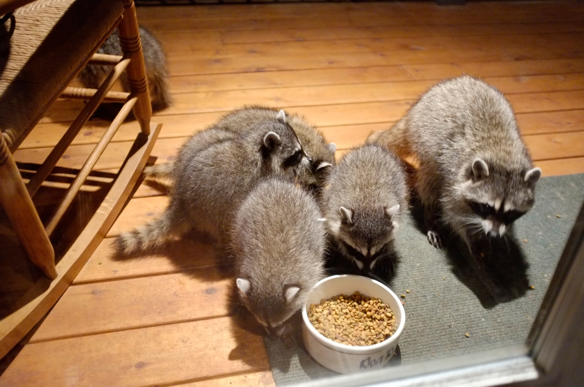 012_-_2013_summer_raccoon_kits_-_conrad_monroe-jpg