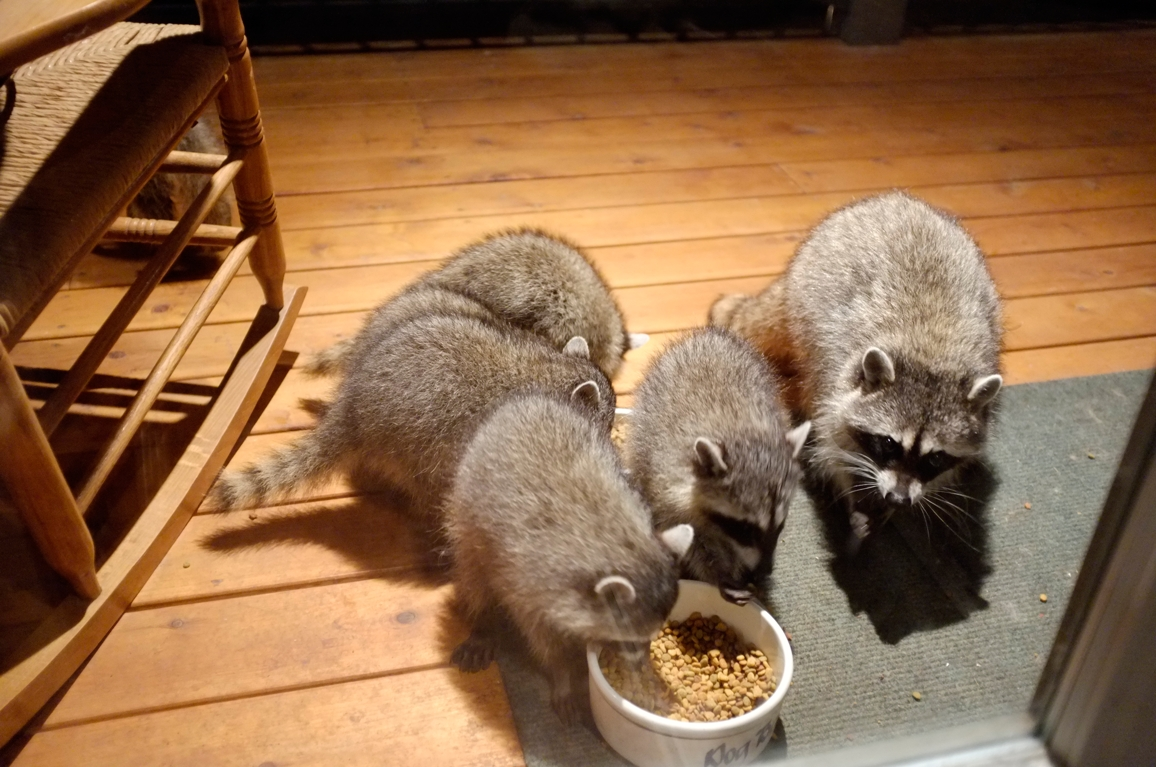 013_-_2013_summer_raccoon_kits_-_conrad_monroe-jpg