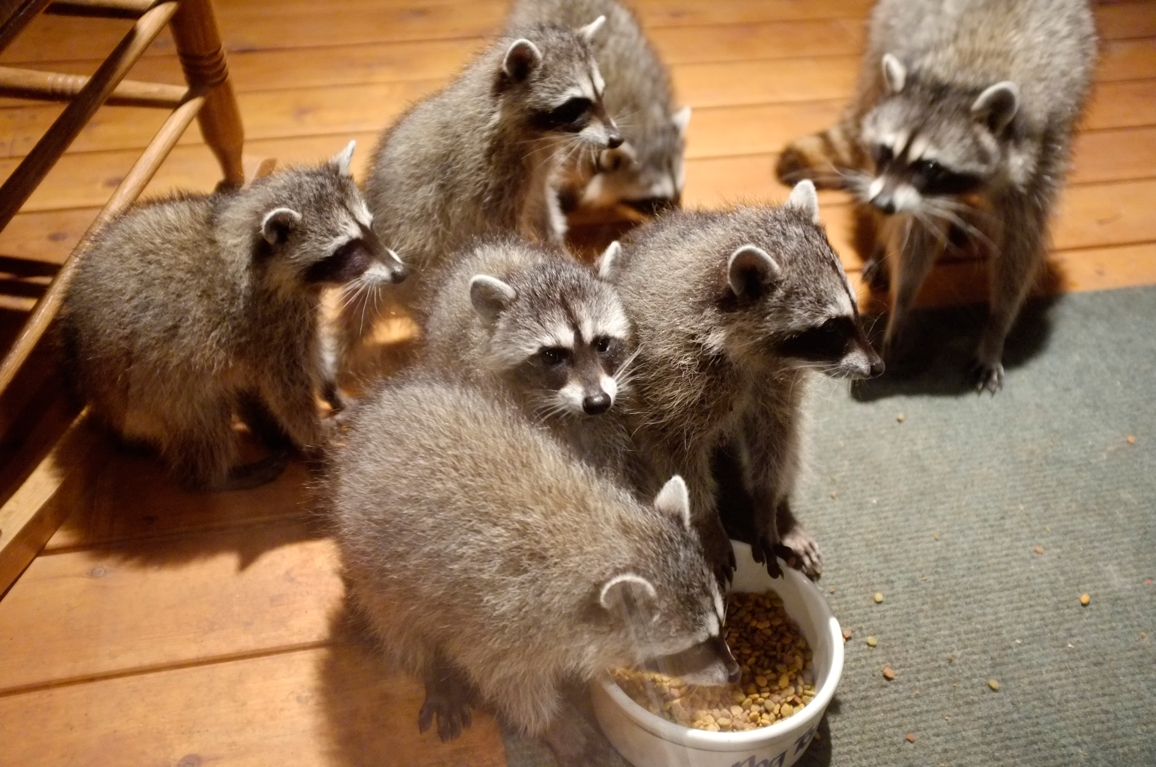 014_-_2013_summer_raccoon_kits_-_conrad_monroe-jpg