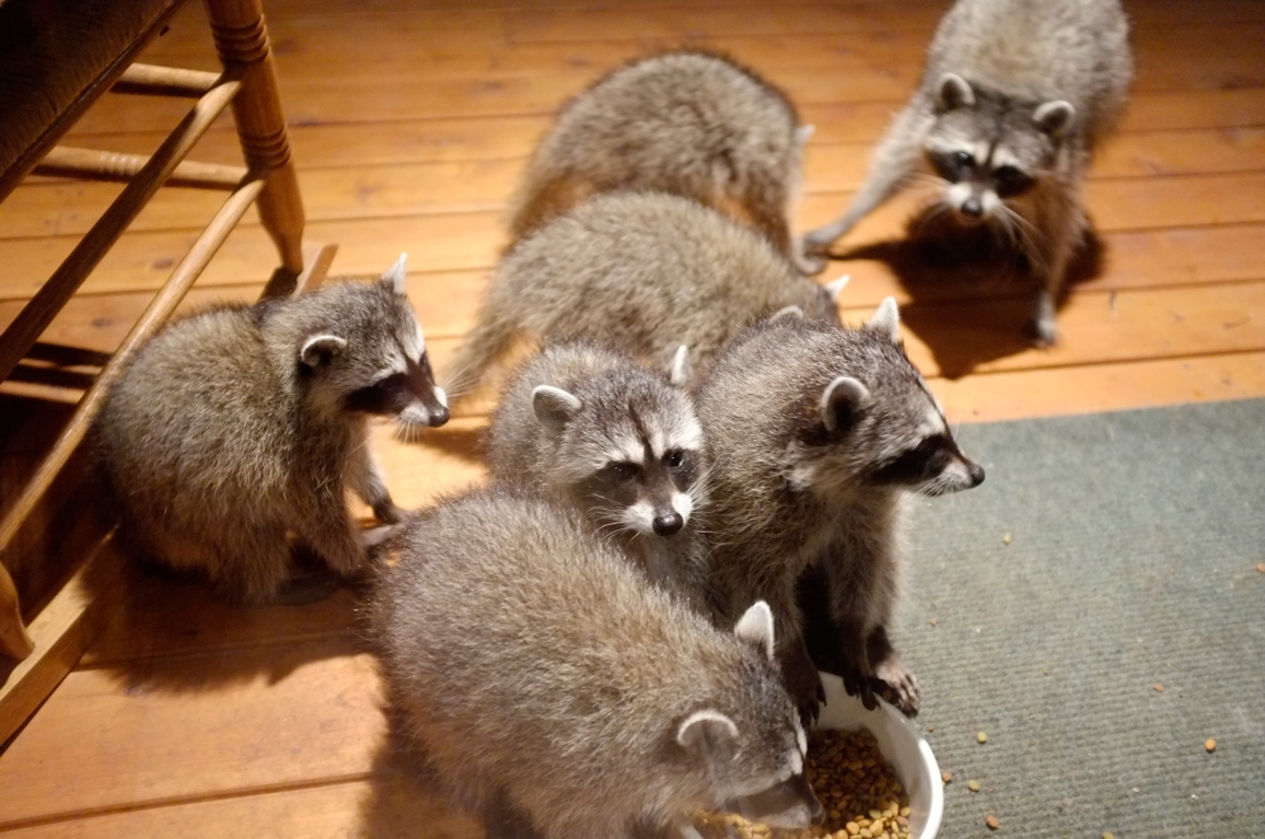 015_-_2013_summer_raccoon_kits_-_conrad_monroe-jpg