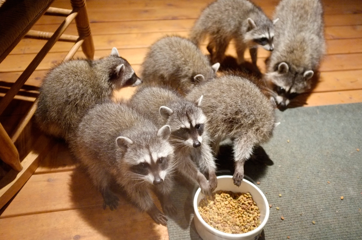 016_-_2013_summer_raccoon_kits_-_conrad_monroe-jpg