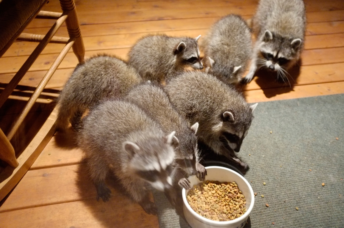 017_-_2013_summer_raccoon_kits_-_conrad_monroe-jpg