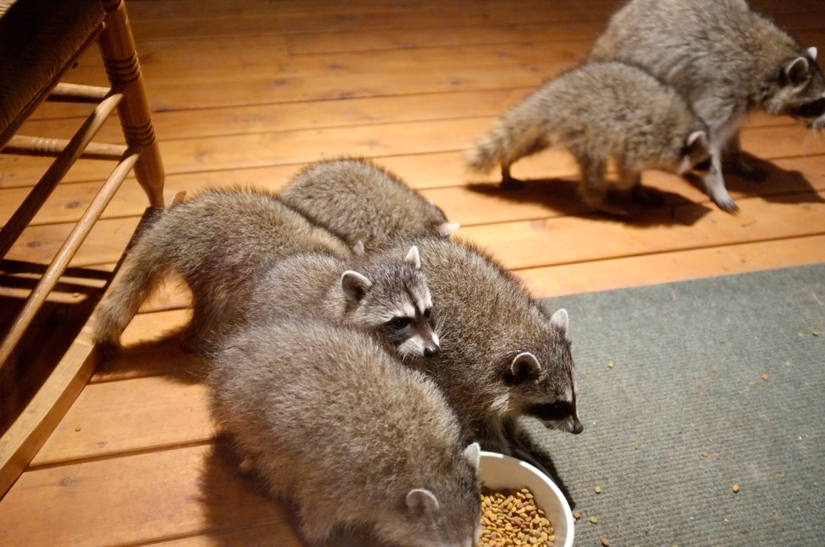 018_-_2013_summer_raccoon_kits_-_conrad_monroe-jpg