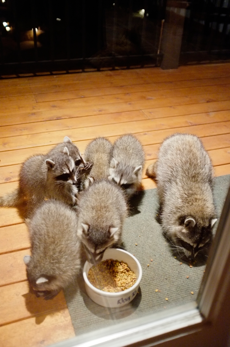 019_-_2013_summer_raccoon_kits_-_conrad_monroe-jpg