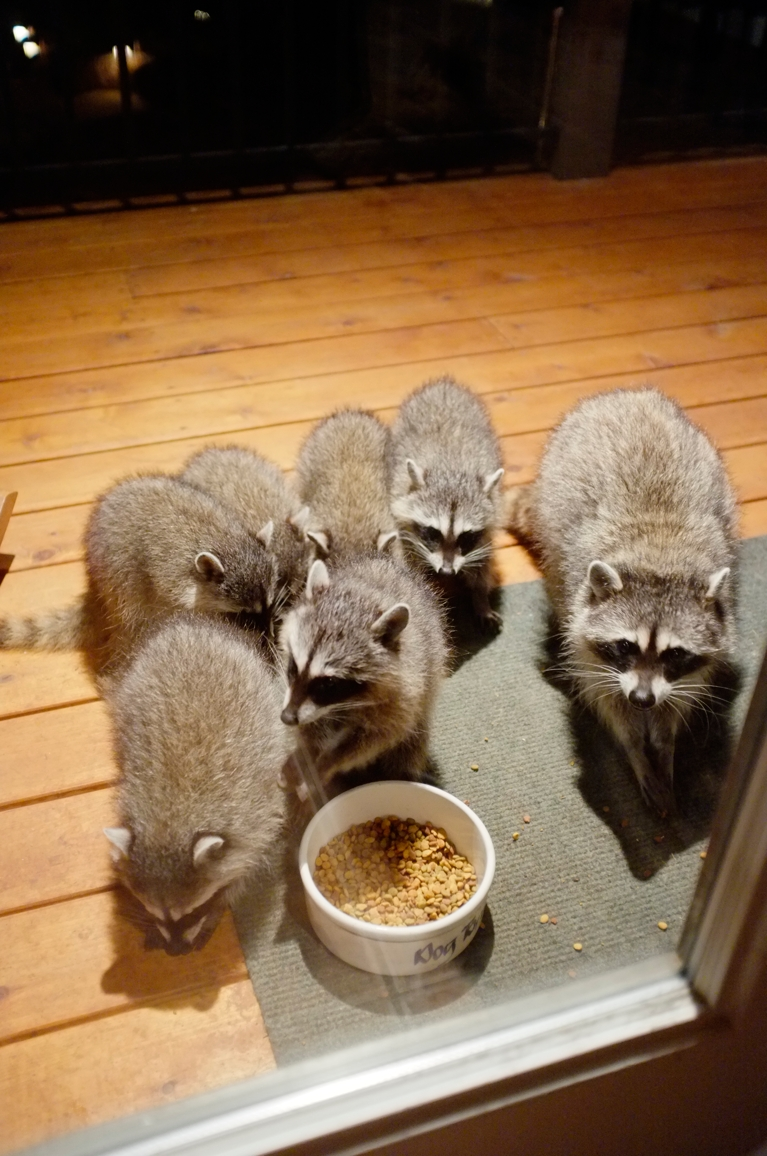 020_-_2013_summer_raccoon_kits_-_conrad_monroe-jpg