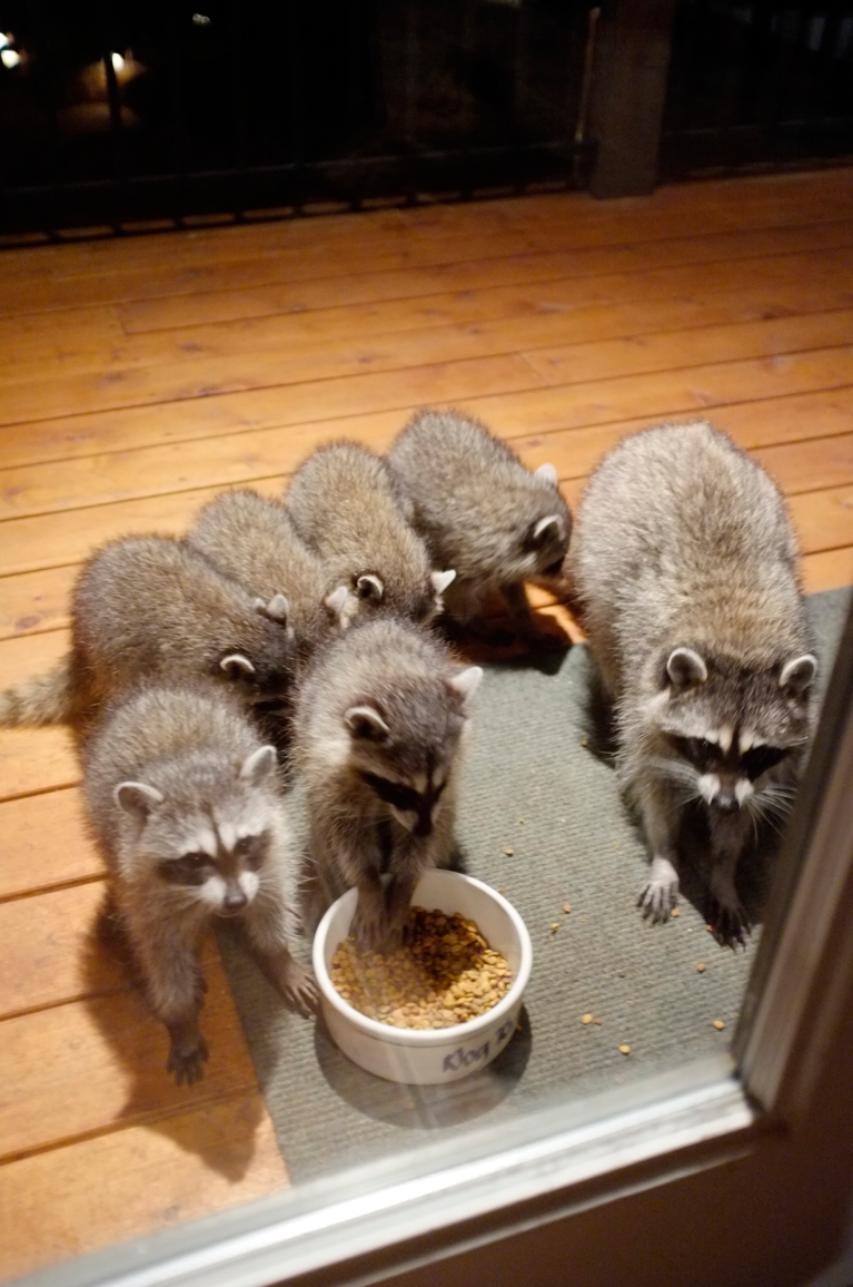 021_-_2013_summer_raccoon_kits_-_conrad_monroe-jpg