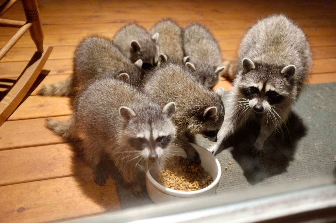 022_-_2013_summer_raccoon_kits_-_conrad_monroe-jpg