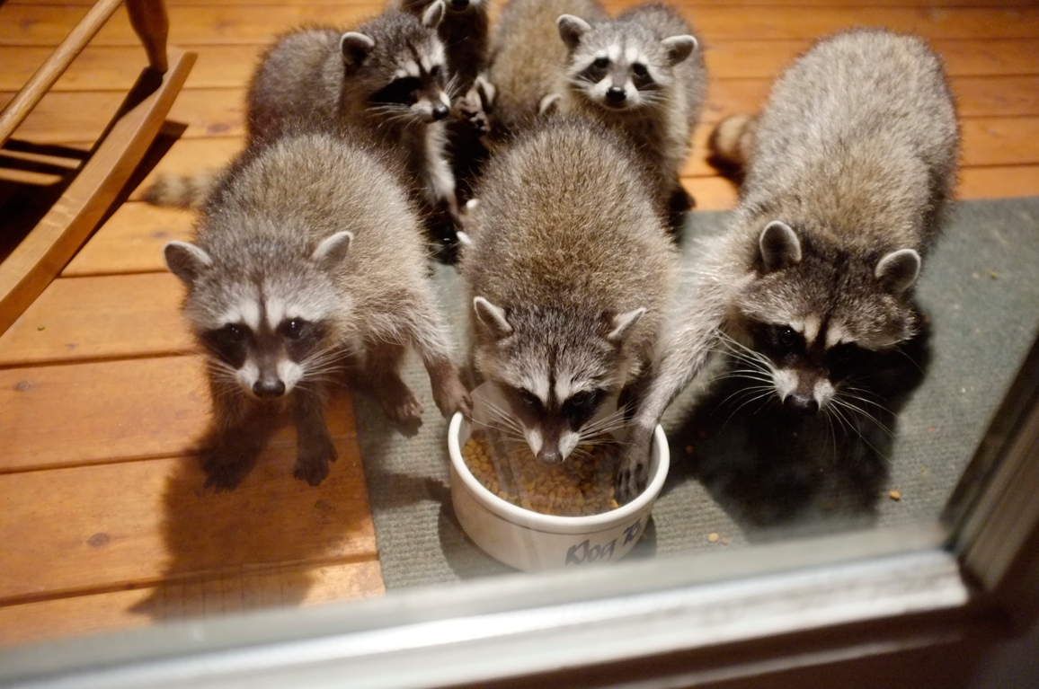 023_-_2013_summer_raccoon_kits_-_conrad_monroe-jpg