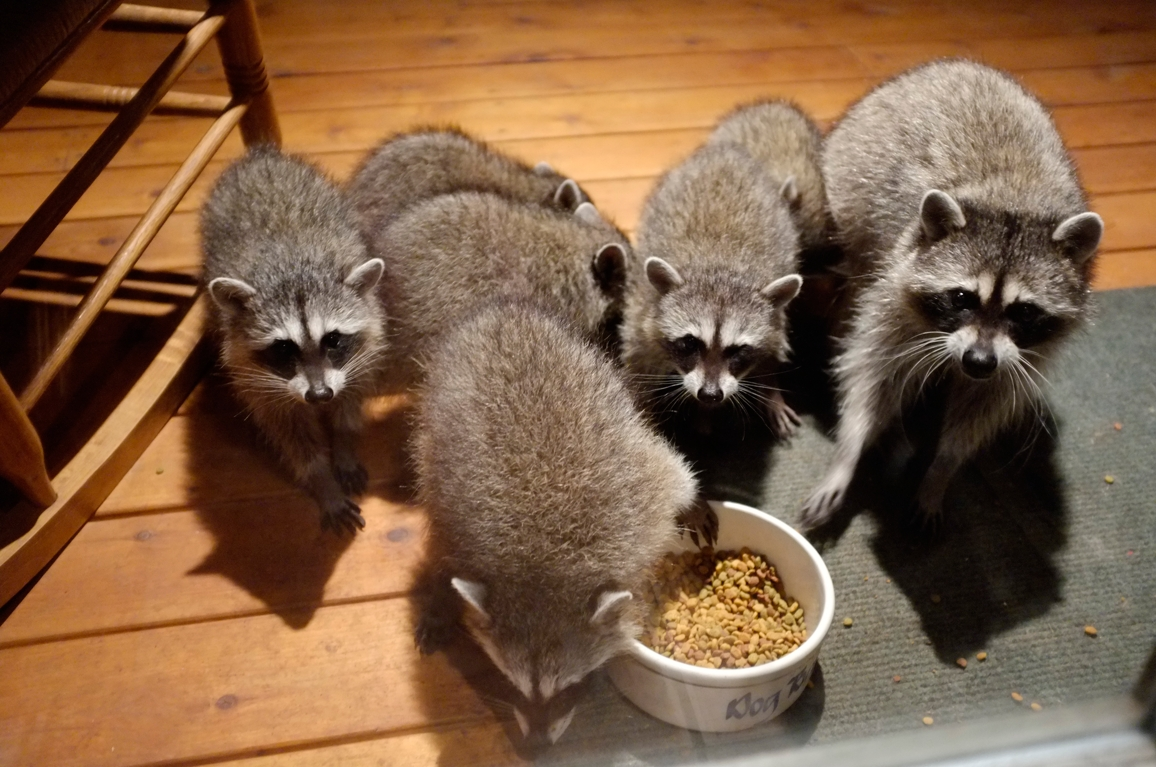 024_-_2013_summer_raccoon_kits_-_conrad_monroe-jpg