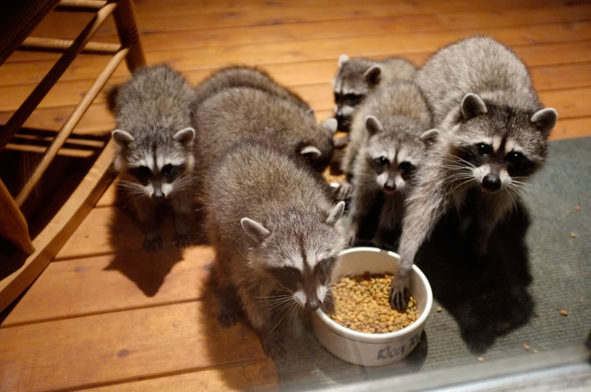 025_-_2013_summer_raccoon_kits_-_conrad_monroe-jpg