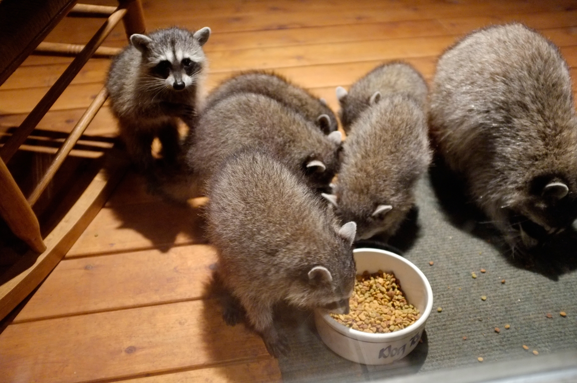 026_-_2013_summer_raccoon_kits_-_conrad_monroe-jpg