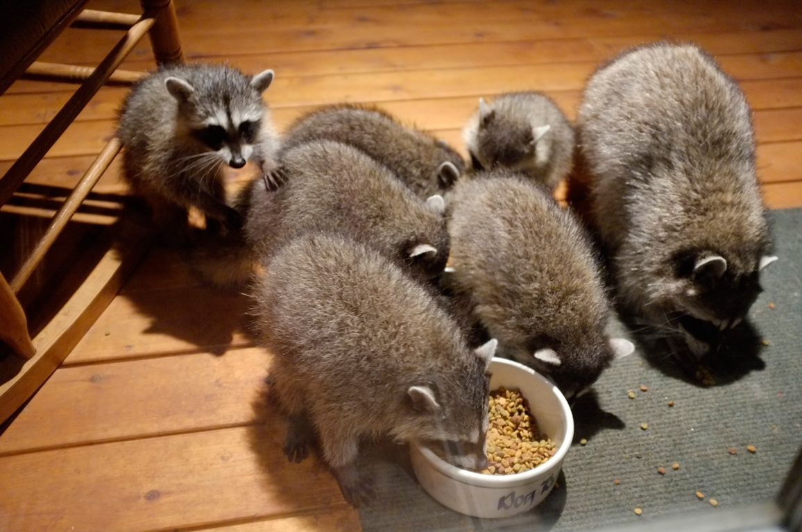 027_-_2013_summer_raccoon_kits_-_conrad_monroe-jpg