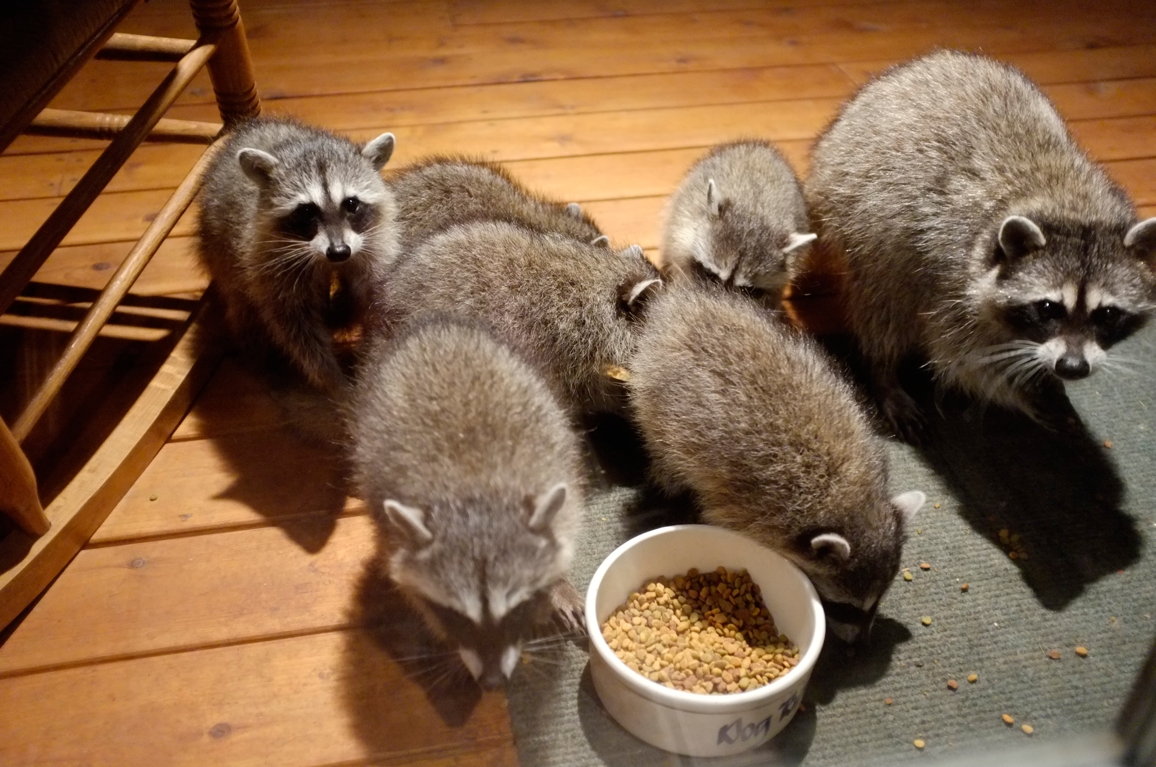 028_-_2013_summer_raccoon_kits_-_conrad_monroe-jpg