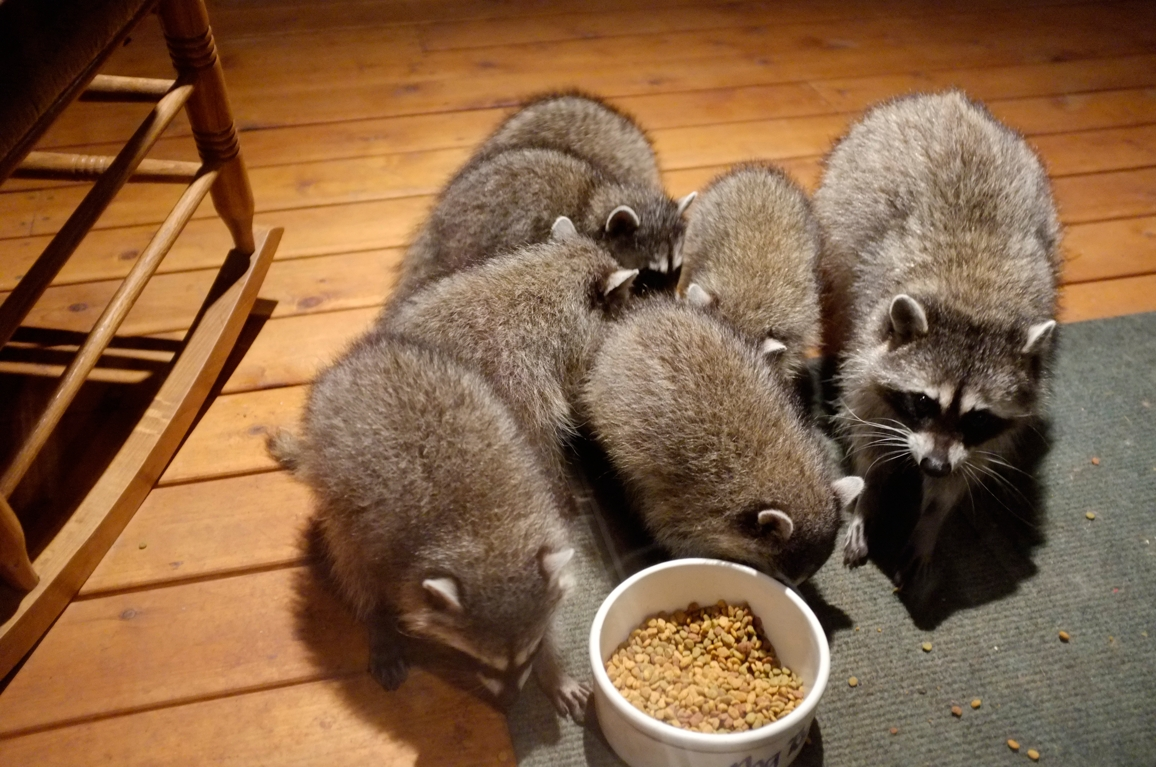 031_-_2013_summer_raccoon_kits_-_conrad_monroe-jpg