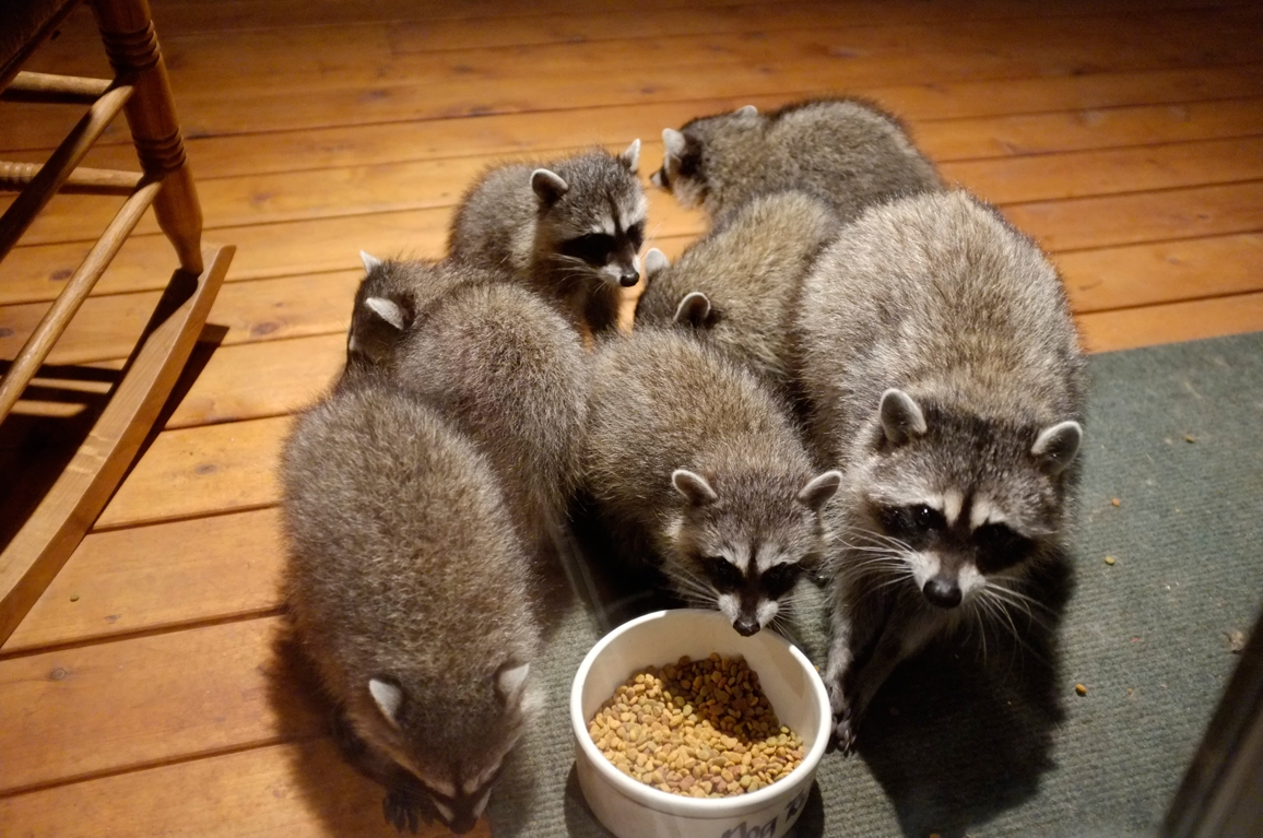 033_-_2013_summer_raccoon_kits_-_conrad_monroe-jpg