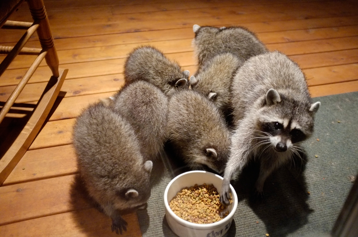 034_-_2013_summer_raccoon_kits_-_conrad_monroe-jpg