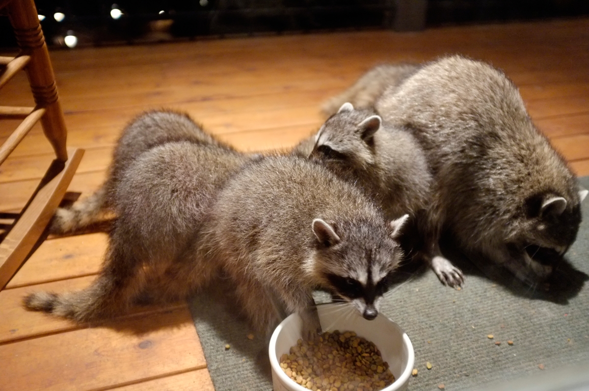 035_-_2013_summer_raccoon_kits_-_conrad_monroe-jpg