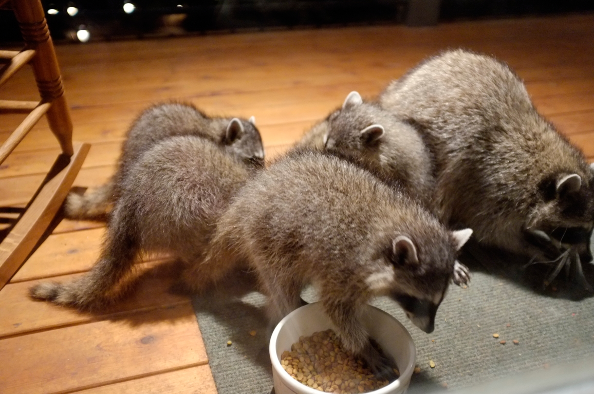 036_-_2013_summer_raccoon_kits_-_conrad_monroe-jpg