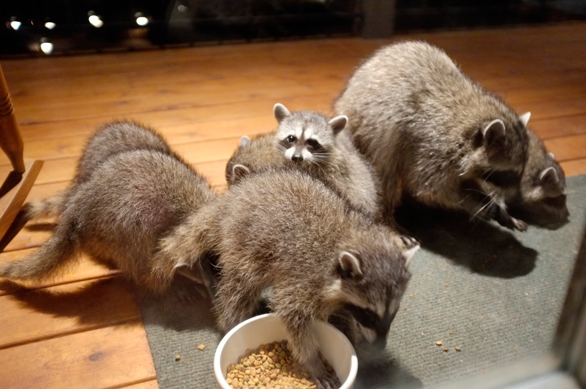 038_-_2013_summer_raccoon_kits_-_conrad_monroe-jpg