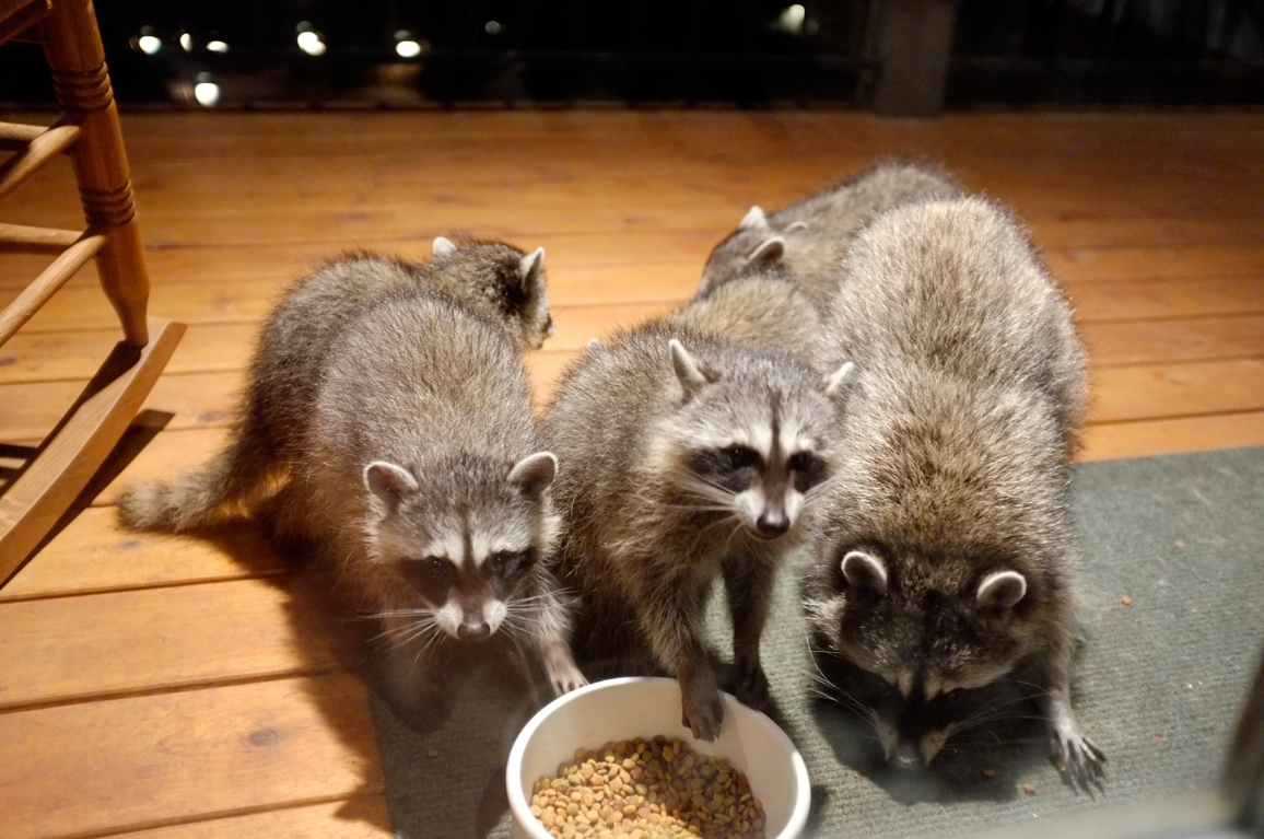 039_-_2013_summer_raccoon_kits_-_conrad_monroe-jpg