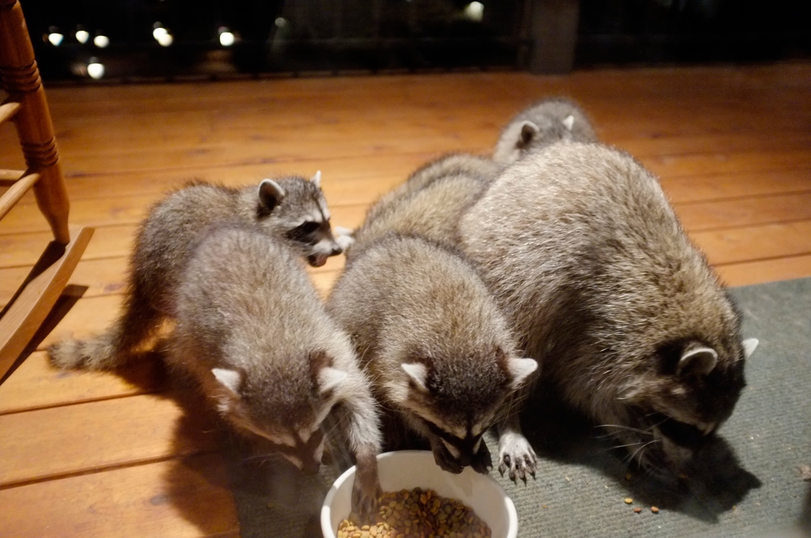 040_-_2013_summer_raccoon_kits_-_conrad_monroe-jpg