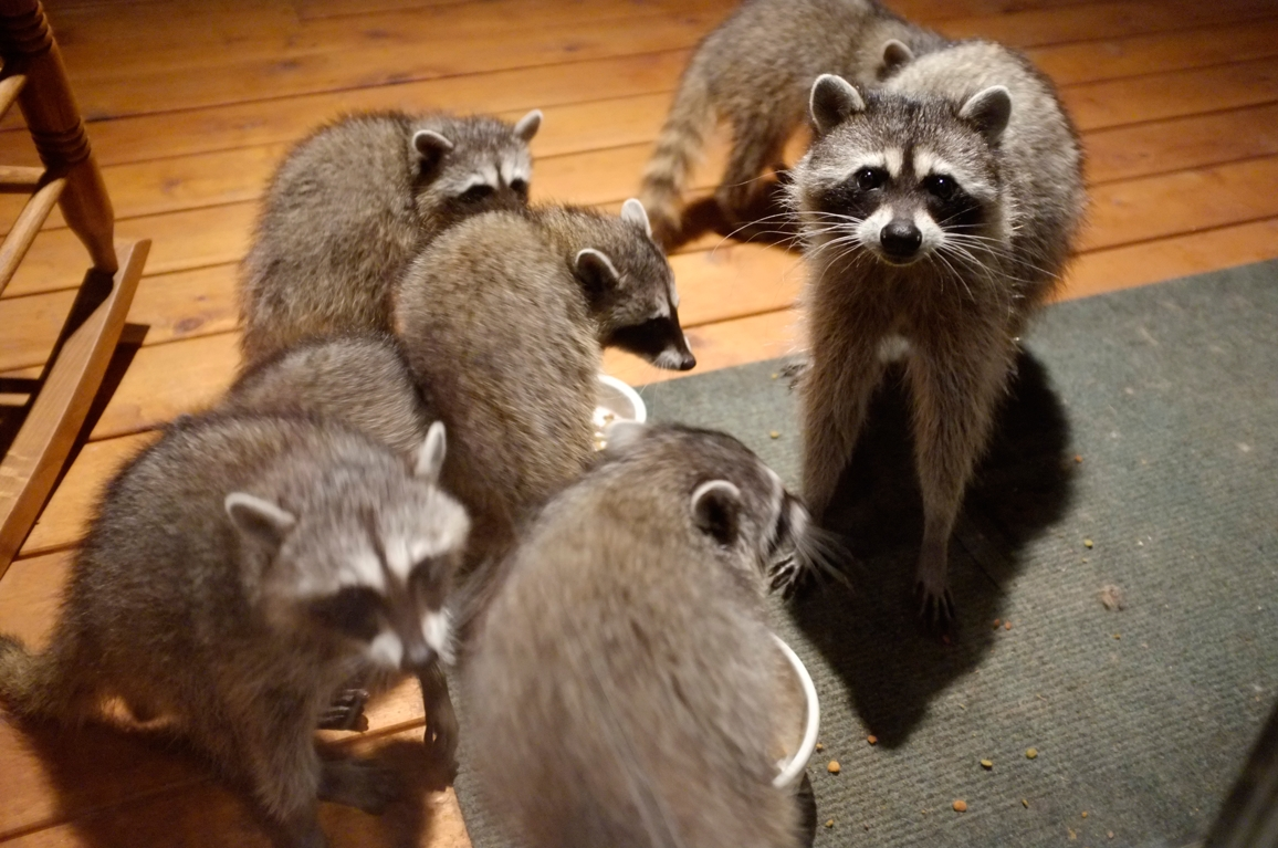 041_-_2013_summer_raccoon_kits_-_conrad_monroe-jpg