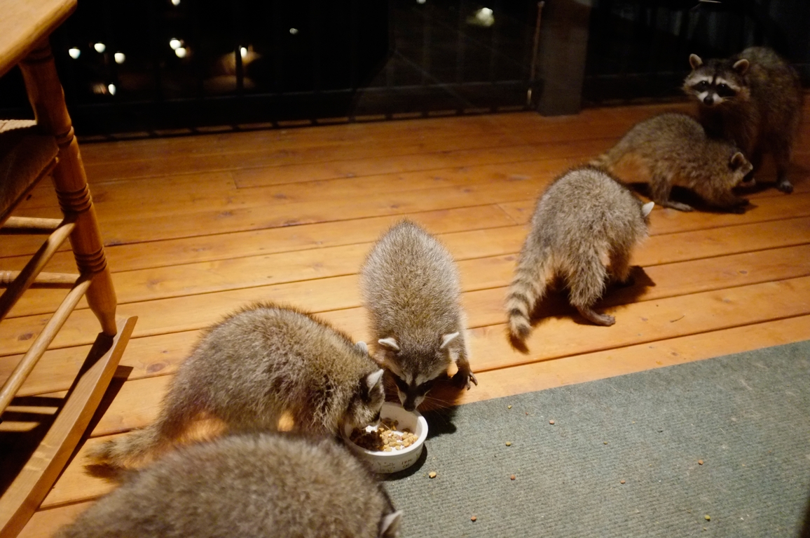 042_-_2013_summer_raccoon_kits_-_conrad_monroe-jpg